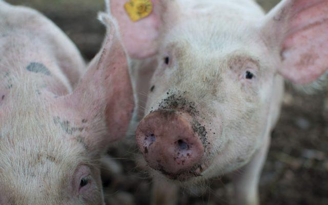 Pesta Porcină Africană confirmată la Săcele
